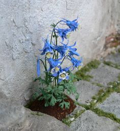 Love this detail! Tiny little columbines growing out of a stone path.