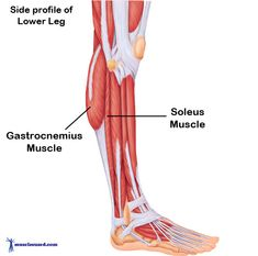gastrocnemius muscle - 935×923