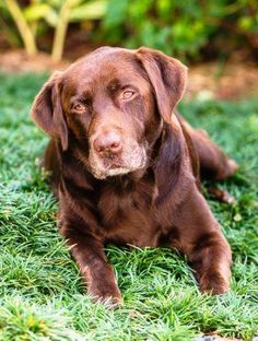 No longer available - Bear - Chocolate Labrador Retriever - Miami, FL.  13 yrs old