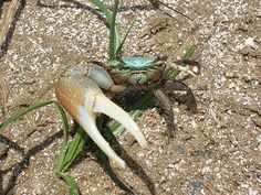 Asymmetry in Nature - Fiddler Crab