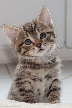 Adorable Ragdoll Kitten - November 2015 - We Love Cats and Kittens kittens cutest Kittens And Puppies, Cute Cats And Kittens, Kittens Cutest, Funny Kittens, Black Kittens, Ragdoll Kittens, Tabby Cats, Munchkin Kitten, Grey Kitten