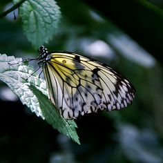White Tree Nymph Butterfly by tropicalart77, via Flickr