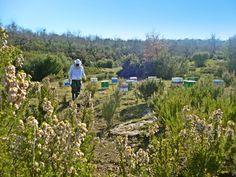 Αρχές της άνοιξης στους πρόποδες των Ορέων του Βάλτου και υψόμετρο 400-500 μέτρων, για ανοιξιάτικο ρείκι. Our Apiary on mountain range of Pindos in northern Greece. Here we collect Heather Honey.