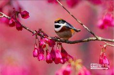 紅頭山雀俗稱「哆啦A夢」,最具喜感。