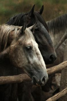 To a lot of men and women, horses are just beautiful creatures. All The Pretty Horses, Beautiful Horses, Animals Beautiful, Horses And Dogs, Wild Horses, Grey Horses, Horse Photos, Horse Pictures, Campolina