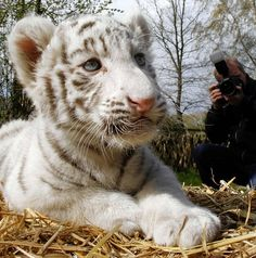 A photographer take pictures of a six week old white tiger cub during a press conference at the Serengeti-Park zoo in Hodenhagen, northern Germany, on Wednesday, April 21, 2010. Two white tigers named Rico and Kico were born on March 8 at the park and now got their first medical examination.