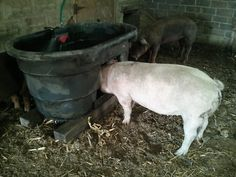 pig waterer- this gives me an idea- can still use my kiddie pool, but build a frame that prevents them from climbing into it. Hog Waterer, Juliana Pigs, Hog Farm, Cattle Barn, Pig Farming, Farming Ideas, Pig Pen, Mini Pigs, Kiddie Pool