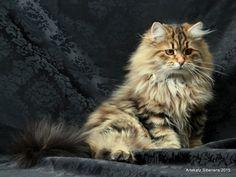 Siberian kitten at 5 months