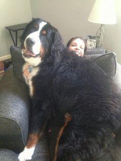 Nos amis les chiens grandissent très vite et certains d'entre eux ont parfois du mal à se rendre compte de leur taille devenue imposante. Une fois adultes, ils veulent toujours agir comme s'ils étaient des chiots et se mettent dans des situations cocasses toutes plus hilarant...