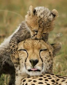 we are best Reliable and suppliers of cheetah cub's worldwide. Our shipping and delivery is safe and convenient. We are ready to sell and supplies the cheetah cub's World Wide Call/text or WhatsApp us via Big Cats, Cats And Kittens, Cute Cats, Siamese Cats, Nature Animals, Animals And Pets, Wild Life Animals, Beautiful Cats, Animals Beautiful