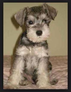 Picture found in Google. I love miniature schnauzer