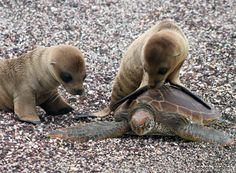 Baby sea lions trying to get a turtle to play with them. Awwww.