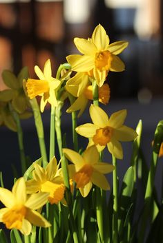 Spring and Daffodils...can't have one without the other.