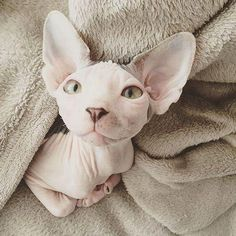 How much do YOU love your cat? ❤️ Get our Limited Ed… How much do YOU love your cat? ❤️ Get our Limited Edition Sphynx Cat Clothing Now –> Link in bio Multiple colors available ONLY… Continue Reading → Cute Baby Animals, Funny Animals, Animals Images, Funny Cats, Cute Hairless Cat, Sphinx Cat, Amor Animal, Beautiful Cats, Beautiful Pictures