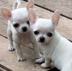 Snow White Chihuahua Puppies