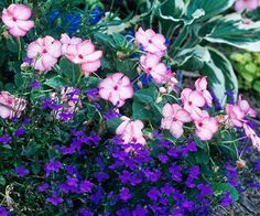 """{Use Cool Colors for Shade}        """"Impatiens are some of the best plants for shade. Here, 'Pink Swirl' impatiens create a lovely contrast for 'Riviera Midnight Blue' lobelia. This annual combination will give you the perfect reason to stop and rest beneath the shade of your favorite tree.""""        Growing Conditions: Shade and well-drained soil."""