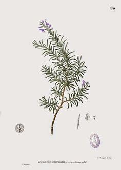 Alecrim  O alecrim (Rosmarinus officinalis) é um arbusto comum na região do Mediterrâneo ocorrendo dos 0 a 1500 m de altitude, preferencialmente em solos de origem calcária.  Devido ao seu aroma característico, os romanos designavam-no como rosmarinus, que em latim significa orvalho do mar.  http://sergiozeiger.tumblr.com/…/alecrim-o-alecrim-rosmarin… Toda a planta exala um aroma forte e agradável.