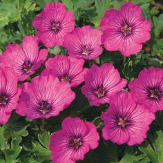 Geraniums vivaces hardy geranium on pinterest 189 pins for Les plantes vivaces
