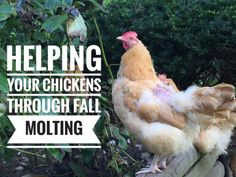 Helping Your Chickens Through Fall Molting - - http://www.achickandhergarden.com/helping-chickens-fall-molting/
