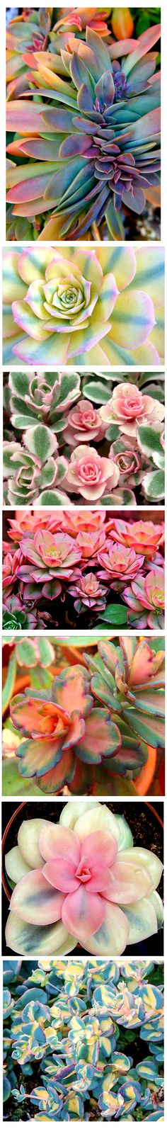 Variegated Succulents . ~~~~ The pictures are beautiful! I'd like to try some of these~~~~