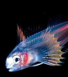 Photo : Certaines de ces espèces vivant dans les abysses comme ce poisson se trouvent douées de bioluminescence