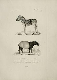 1849 Antique ZEBRA and TAPIR print by AntiquePrintsOnly