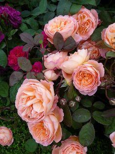 Rose Lady Emma Hamilton, David Austin,Hampton Court Palace Flower Show,  #Jardin à l' #anglaise Royaume-Uni