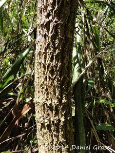 Cordyline spectabilis - Uvaia, Uvarana, Varaneira. Flora Digital do Rio Grande do Sul e de Santa Catarina: Cordyline spectabilis