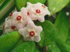Voskovka (Hoya carnosa) Plants, Flora, Plant