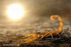 Erster Preis für Nachwuchsfotografen an Carlos Perez Naval aus Spanien: Gelber Skorpion unter gleißender Sonne.