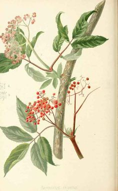 Using Trees As Medicine   by Ellen Ever Hopman   Many common North American trees can be used as medicine. Their advantage over medicinal he...