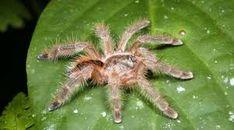 rainforest animals -turantula