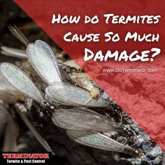 One of the biggest reasons termites can do so much damage to a structure is because they do all their hard work out of view, so it is very difficult for the untrained professional to spot them. Learn more from Terminator: www.goterminator.com/blog/how-do-termites-cause-so-much-damage #TerminatorTPC #TermiteDamage #Termites Termite Pest Control, Termite Damage, Hard Work, Blog, Blogging