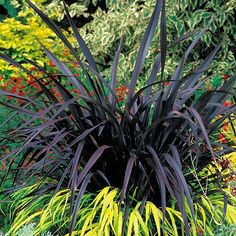 Phormium 'Black Velvet' from Van Meuwen - quality gardens at everyday prices Tropical Plants Uk, Tropical Landscaping, Exotic Plants, Tropical Gardens, Bougainvillea, Black Velvet, Modern Planting, Planting Plan, Architectural Plants