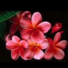 Plumerias that would make a lovely lei.