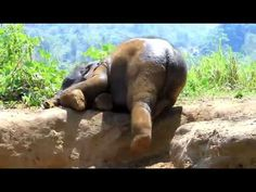 Lil baby elephant rolling in the mud