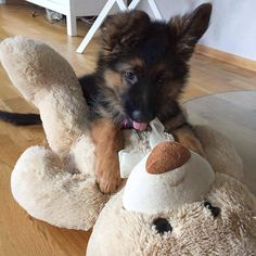 Wicked Training Your German Shepherd Dog Ideas. Mind Blowing Training Your German Shepherd Dog Ideas. Super Cute Puppies, Cute Baby Dogs, Cute Dogs And Puppies, Doggies, Cute Little Animals, Cute Funny Animals, Little Dogs, German Shepherd Pictures, German Shepherd Puppies