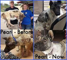 Pearl is an adoptable Akita Dog in Frisco, TX. Poor Pearl was rescued from the shelter in horrible shape. In fact, her skin was in such terrible shape, and she was in so much pain, that she had to be ...