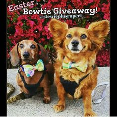 Last few minutes to enter our #Easter #bowtie giveaway If you haven't already! Winners will be announced soon TODAY from @stewieplusrupert  To enter check out their IG for directions! Goodluck everypawdy!  #k9swag #bowtie #easter #sundaysbest #easterbowtie #easterbowties #giveaway #free #win #winnerwinner #winnerwinnerchickendinner #dogbowtie #dogbowties #pawsome #bowtieswag #pomeranian #lowriders #daschund #instadog #contest #igcontest #pickme #followus #showoff #pastel #pastels…
