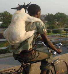 Cabra viajera ...