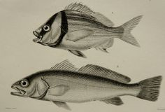 1849 Antique print of FISHES. Sea Life. 167 years old lithograph. by AntiquePrintsOnly on Etsy https://www.etsy.com/listing/170680554/1849-antique-print-of-fishes-sea-life