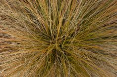 Our company name — Carex Design Group — was inspired by one of our designer's favorite plants – Prairie Fire Carex. It's native to New Zealand but does well in the Knoxville, Tenn. area. Plant it in moist, well-drained soil. You'll love the awesome orange color it produces in the fall.