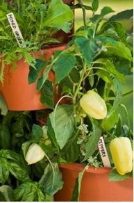 Beautiful Fruit and Vegetable Combos For My Garden Post