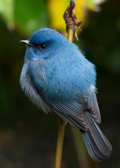 Nilgiri Flycatcher, India