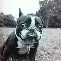 fat boston terrier boston terrier love on pinterest terriers boston 270