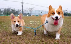 Big #Corgi, little #Corgi: Happy National Puppy Day! http://sulia.com/my_thoughts/f11c337b-81ec-4f6c-9db2-db77fce94abd/?source=pin&action=share&btn=small&form_factor=desktop&pinner=124041943