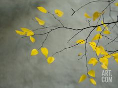 Yellow Autumnal Birch (Betula) Tree Limbs Against Gray Stucco Wall Photographic Print by Daniel Root - by AllPosters. Canvas Frame, Canvas Art, Canvas Paintings, Tree Paintings, Wall Prints, Canvas Prints, Stucco Walls, Spring Landscape, Winter Scenery