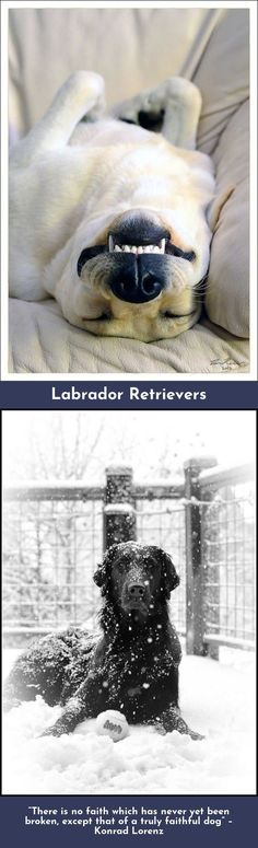 Want to know more about Labradors Please click here to get more information...