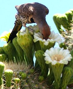 A Gilded flicker feeding on blooming saguaros and thereby helps with the pollination.
