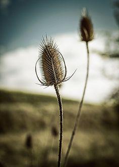 Thistle flower http://www.baptiste-g.com